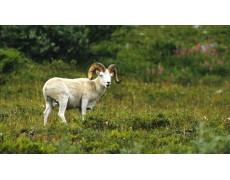 Peran Weather Station Dalam Penelitian Dall's Sheep Parasite