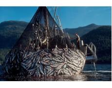 Data Logger Membantu Pengolahan Tangkapan Ikan Salmon di Alaska